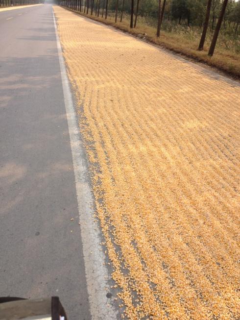 Des grains de maïs partout, et c'est le décor que je vois à longueur de journée!